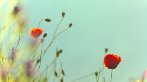 Cinemagraph Loop - Poppies with leaves blowing - motion photo