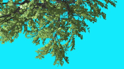 Top of Plitvice Maple, Tree Crown on Chroma Key Blue Screen, Turned Tree with Green Fluttering Leaves and Swaying Branches, Tree is Swaying at the Wind in Sunny Day, Sun Shines in Summer, Computer