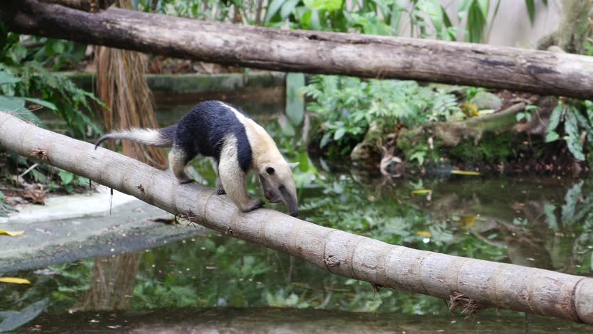 Header of tamandua