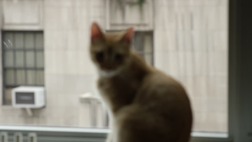 Cute tabby kitten perched on Manhattan windowsill with buildings across the street - cat looking out window in 4K | Shutterstock HD Video #12663986