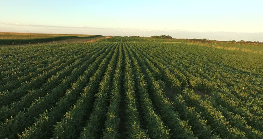Aerial flight over soy plant field  | Shutterstock HD Video #12728468
