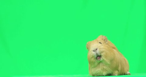 guinea pig says on a green screen