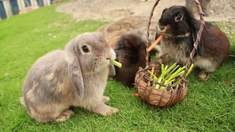 Cute Bunny Rabbit  holland lop Eating Grass and Carrot HD