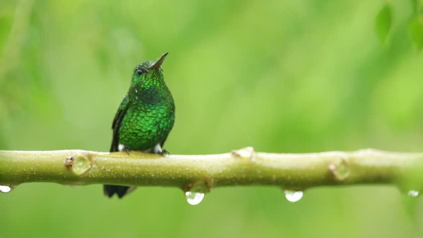 Grenn hummingbird in the rain, Colombia | Shutterstock HD Video #12821627