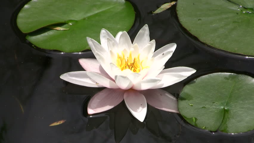 Beautiful White Lotus Flower Floating In Water