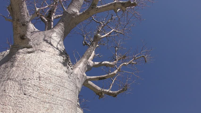Header of Adansonia Gregorii