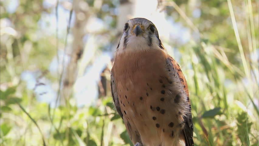 Header of sparrowhawk