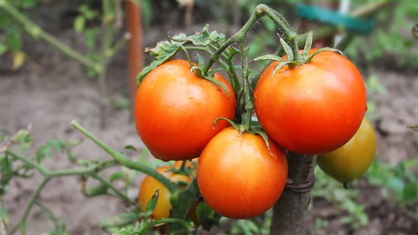 gentle woman hands gather wet ripe red tomatoes in garden, close-up