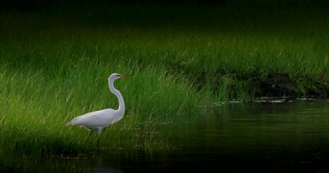 Beautiful great white heron takes flight in dark wetlands in slow motion.