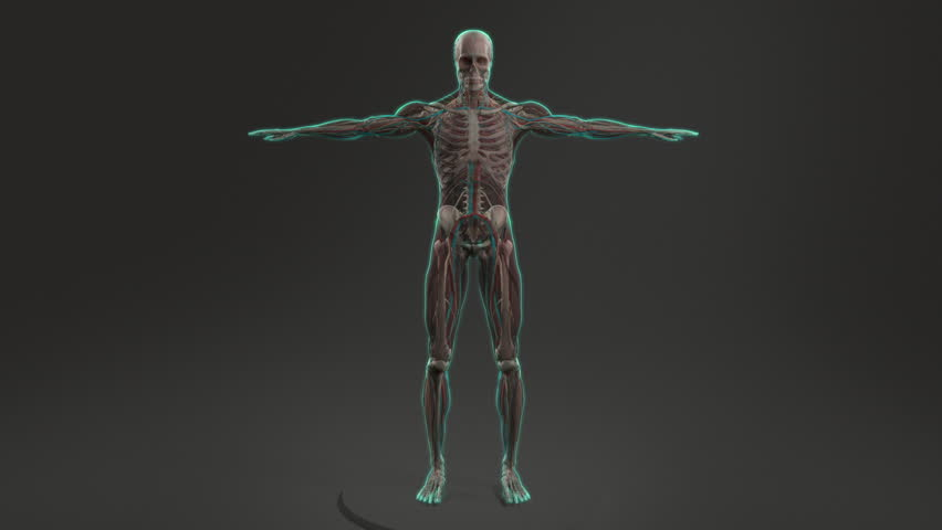 Stock Video Of Human Anatomy Showing Full Male Body 12951614