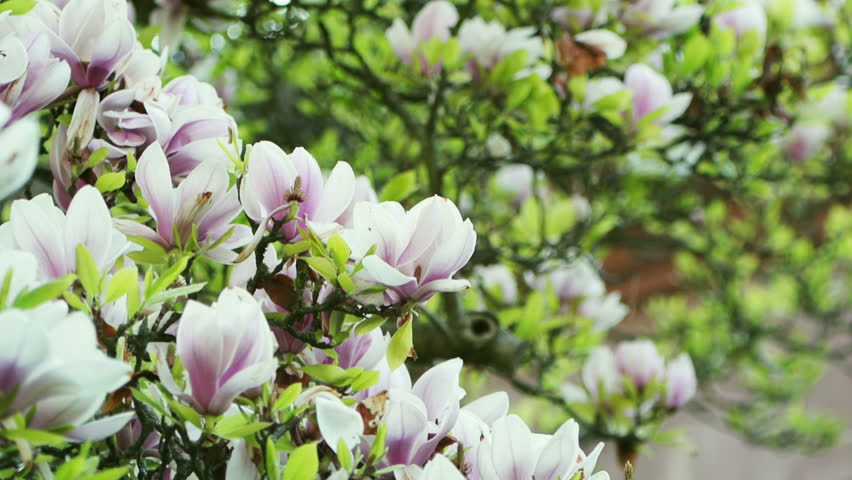 Magnolia Tree Blossom On A Stock Footage Video 100 Royalty Free