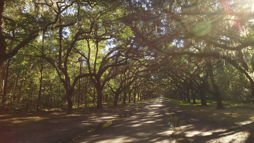 A tracking dolly shot of traveling through the mossy trees on Oak Avenue outside the Wormsloe Historic Site near Savannah, Georgia.