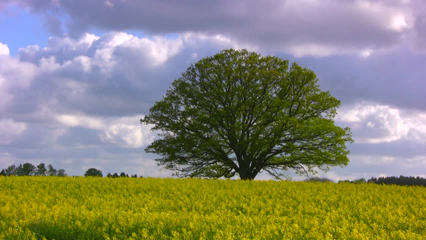 Big, old oak tree (common oak, English oak, Quercus robur) in a blooming yellow rapeseed field against violent bluish spring clouds on a stormy afternoon. #12995207