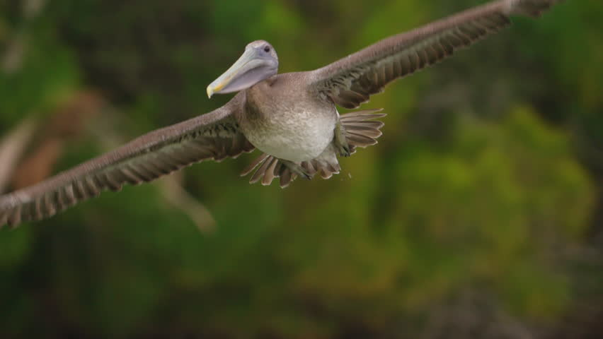 Close-up shot of brown pelican banking away from the camera in slow motion as water drips from his wings