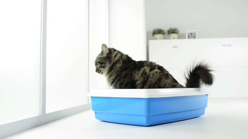 Long hair cat using the litter box at home, pet care and hygiene concept