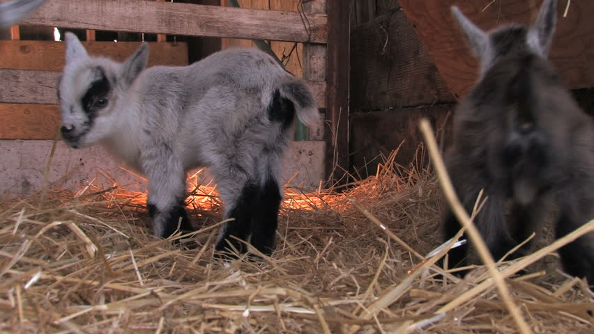 Stock Video Of Young Pygmy Goats Playing In Pen