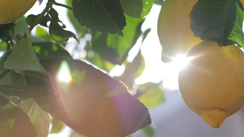 Lemons Growing On Tree Under The Sunny Rays. Branches With Ripe Lemons
