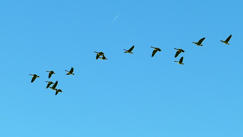 Graceful Flock of Canadian Geese Flying in Slow Motion. Shot at 120 frames per second.