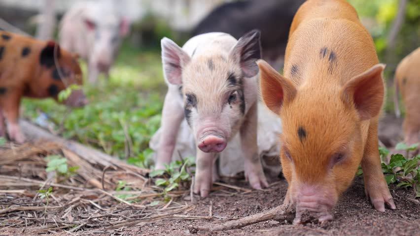 Many Cute Small Pigs Outdoors. HD, 1920x1080.