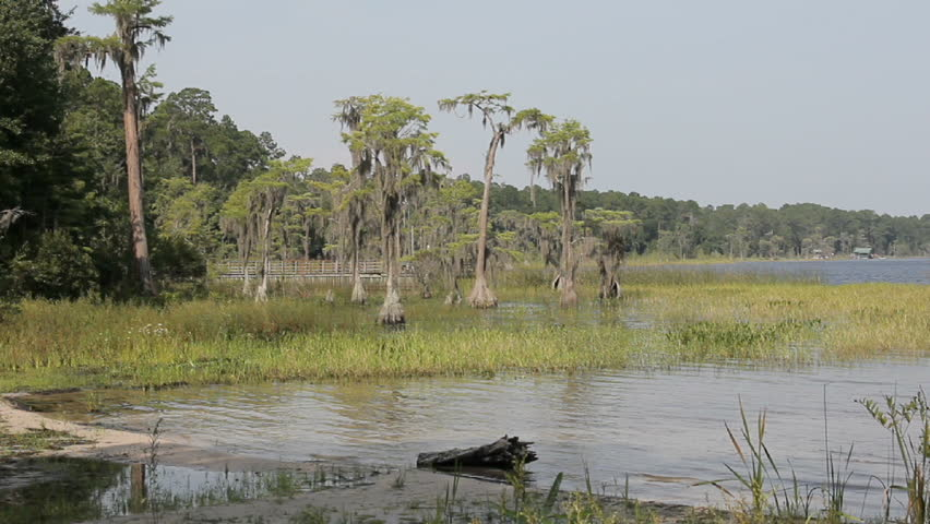 Several Cypress trees on the edge of a Florida lake with spanish moss blowing in the wind