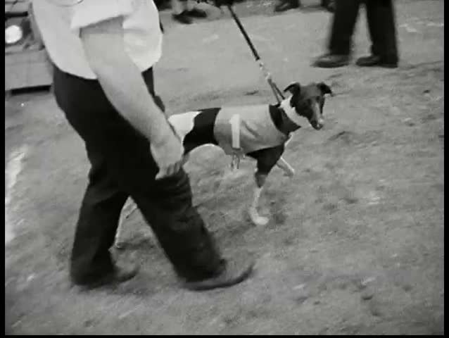 CIRCA 1960s - Big breed category dogs are displayed on the runway. Audience applauses.