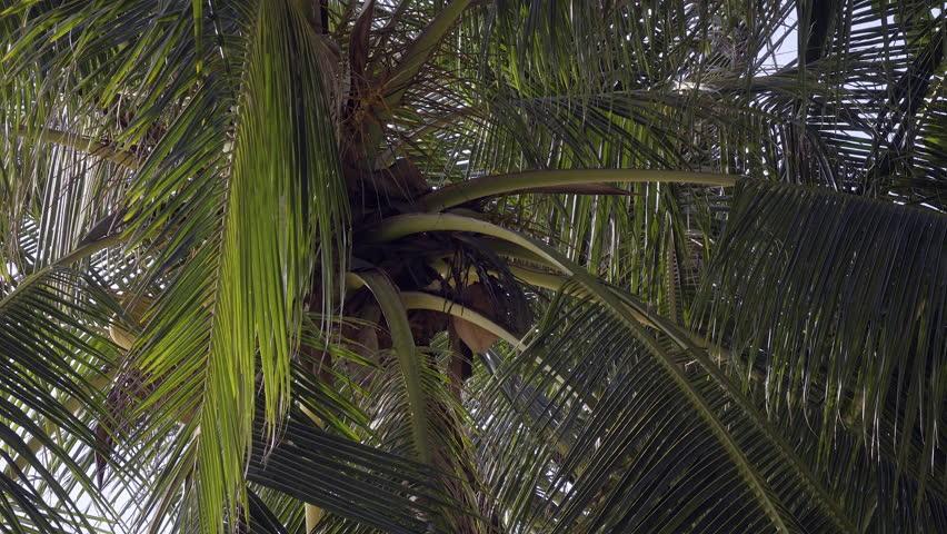 Phuket, Thailand. OCTOBER 26, 2015: Palm tree. | Shutterstock HD Video #13139780