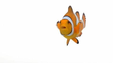 Clown Fish swimming around
