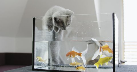 MS Grey kitten watching goldfish swimming in aquarium