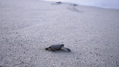 Leatherback turtle hatchlings scuttle down beach to sea, Trinidad, Trinidad and Tobago