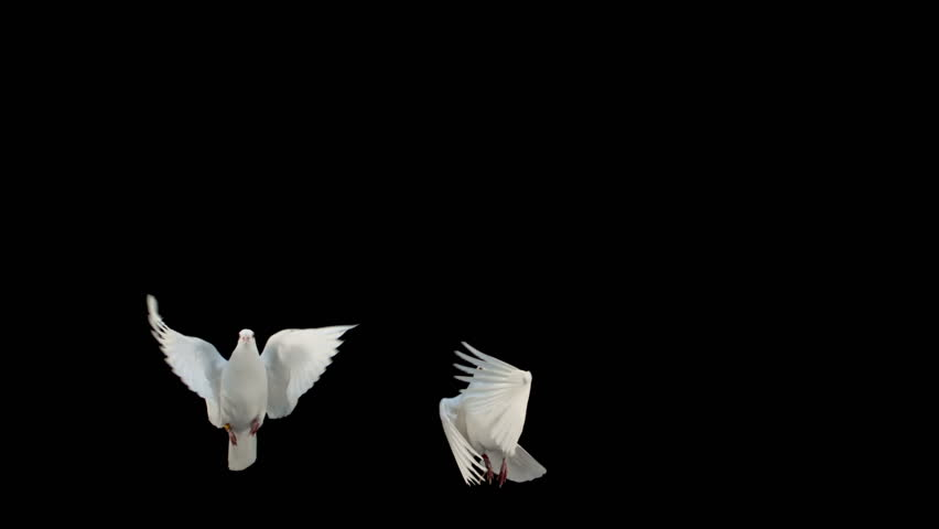Doves flying on black background in slow motion