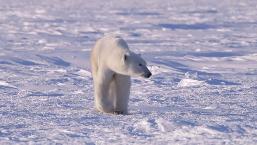 Polar Bear Walking Through The Arctic v.2-7