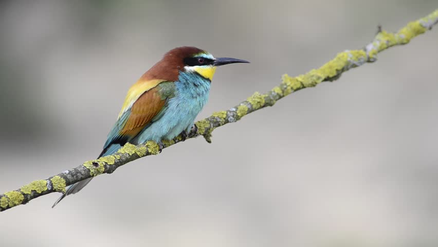 European bee-eater (Merops apiaster) sitting on the branch | Shutterstock HD Video #13313534