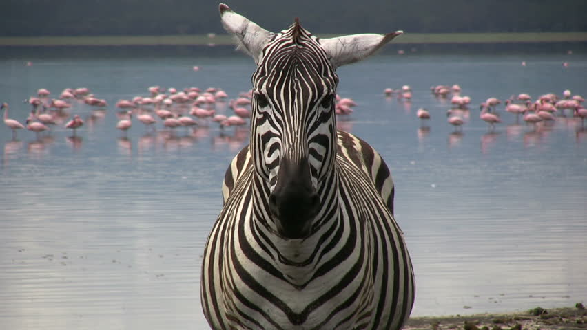 Close up of a zebra with flamingos in the background