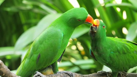 Green Eclectus parrot feeds grown baby on tree branch in natural environment
