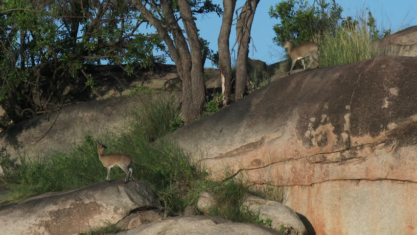 Klipspringer (Oreotragus Oreotragus) couple on rocks with one jumping to the other at Serengeti National Park.