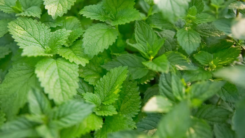 Healthy herb growing on garden close up. Camera travel over the melissa herbs on home garden. Jib shot sliding over.