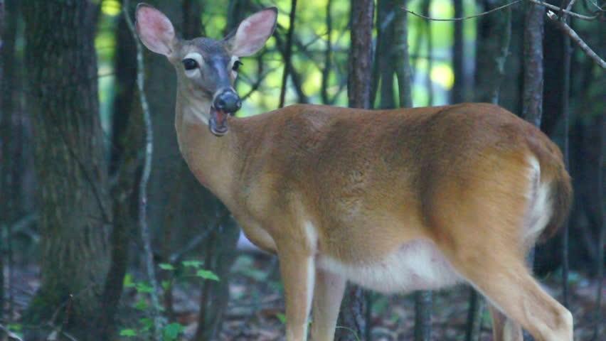 Pregnant Whitetail Deer (Odocoileus virginianus)  in June preparing to deliver.