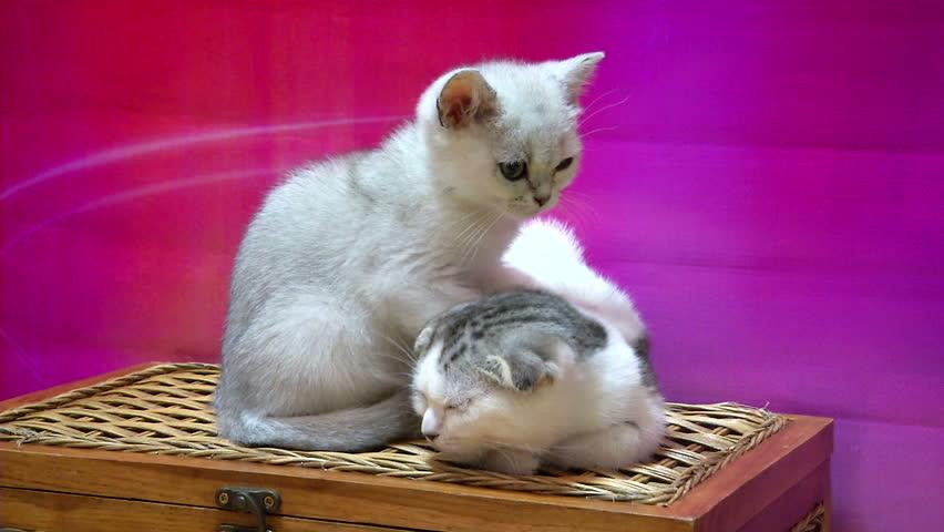 White cat massages cat. | Shutterstock HD Video #13769222