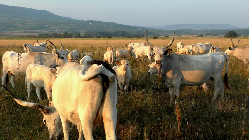 4K footage of Hungarian Grey Cattles or Steppe Cattles (protected animal as National symbol of Hungary) grazing in Hortobagy National Park, Hungary #13892834
