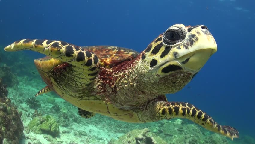 Hawksbill Sea Turtle is swimming and chases the camera probably seeing it's mirror image. | Shutterstock Video #13945376