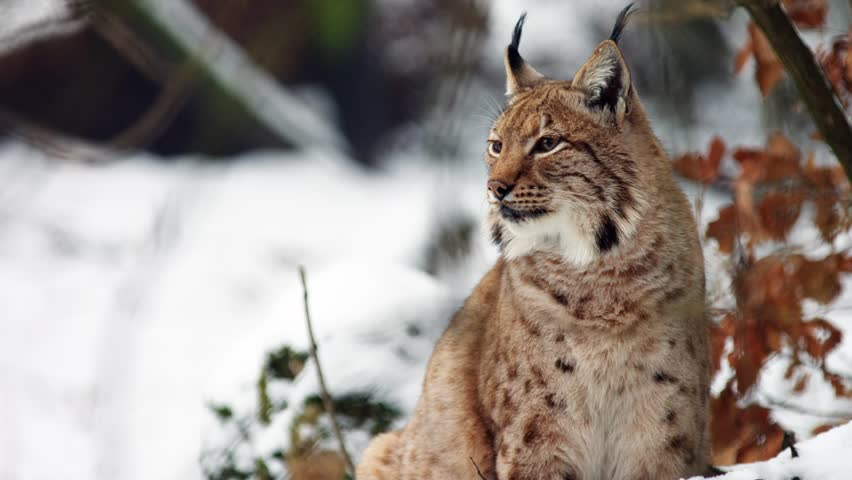 Eurasian Lynx in winter scenery watching around (Lynx lynx carpathicus)
