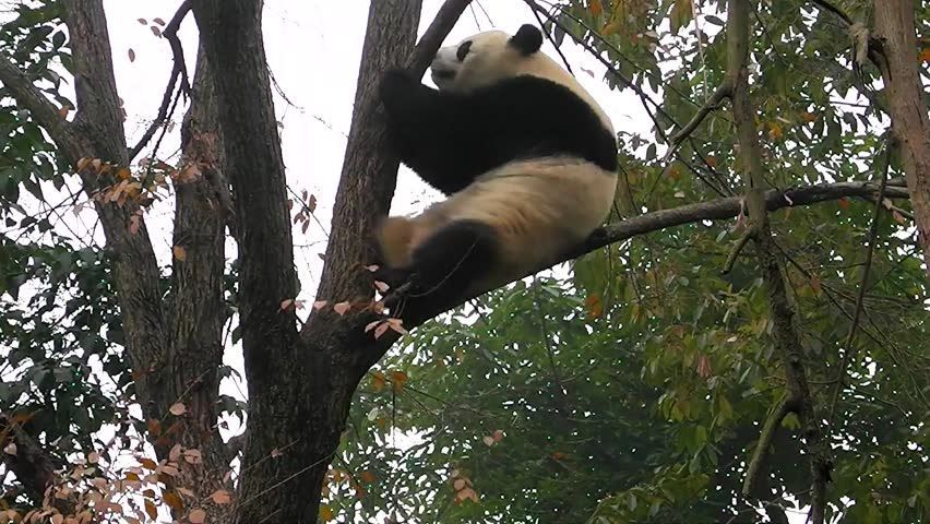Header of giant panda
