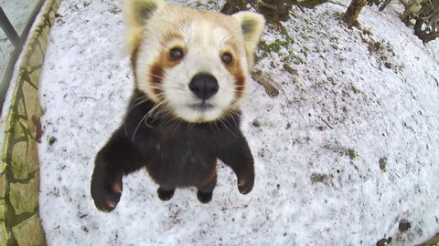 Red panda bear walks on a snow and tries to eat the video camera