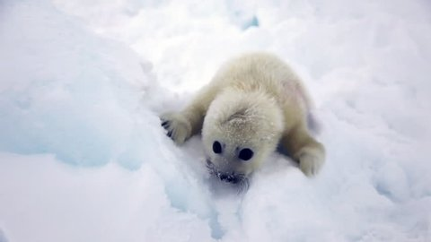 Cute Newborn Seal Pup On Ice Looking at the camera. Family Polar Arctic Harp Sea Grey Calf Seal With Newborn Baby Cute Pups On Ice Fields Of White Sea. Saving Seals! Eco-tourists guard fluffy wonders!