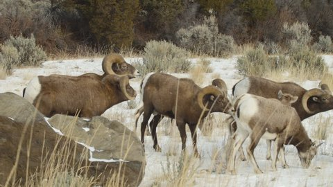 Bighorn Sheep rams display flehmen response as they harass a harem of ewes on a snowy meadow. P1080495