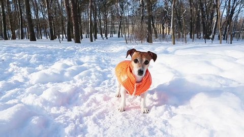 Adorable active puppy Jack Russell terrier playing in winter sunny park. Cool weekend walking. DLSR camera video footage