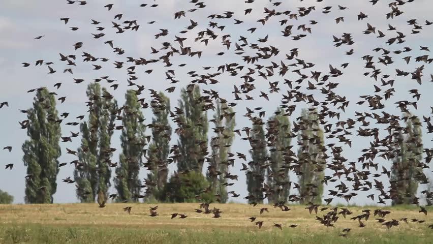 flock of starlings in wheat field