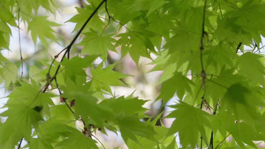 Focus change from maple leaves swaying gently in the spring breeze to cherry blossoms in the background. 4k. In slow motion.  | Shutterstock HD Video #14193584