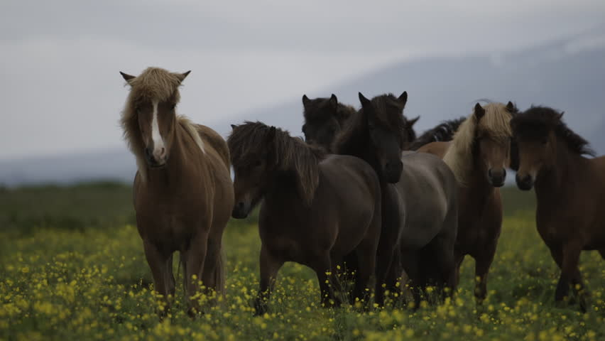 MS SLO MO SELECTIVE FOCUS Brown horses grazing in meadow / Skogar, Iceland - 07/10/2014 | Shutterstock HD Video #14245841