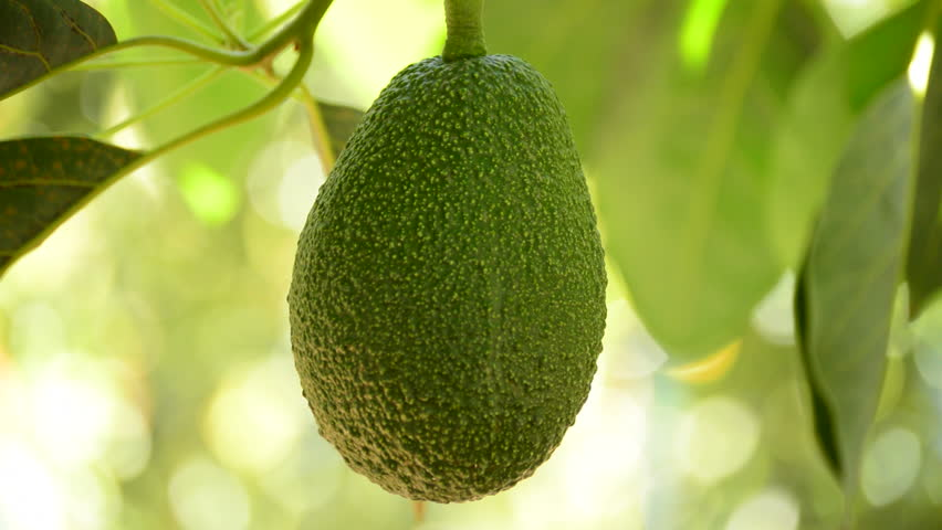 Avocado fruit hanging at branch of tree in a plantation of fruit trees in harvest
